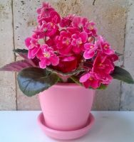 розовый с мини фиалкой